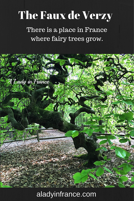 Where the fairy trees live. Faux de Verzy @aladyinfrance